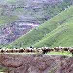 Sheep-in-a-Wadi